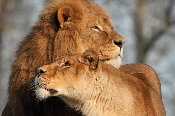 leader lion care for female lion