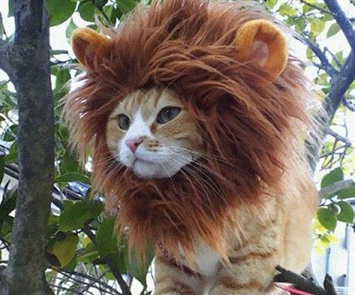 beta lion faking confidence