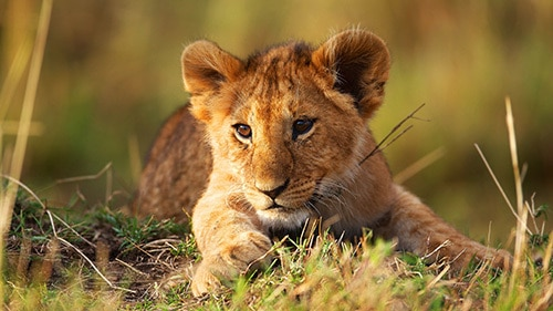 lion cub learning real confidence