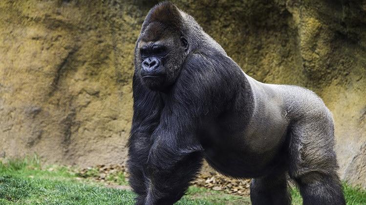 confident alpha male gorilla ready to fight