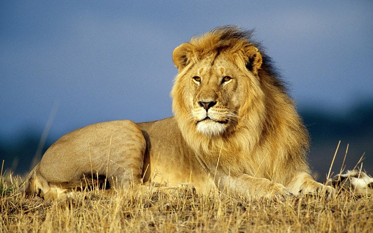Fierce lion or weak little cub? The choice is yours.